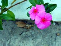 Roze bloem twee royalty-vrije stock afbeeldingen
