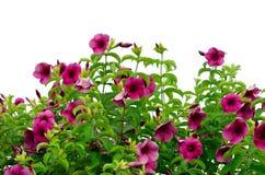 Roze bloem van gerbera Royalty-vrije Stock Afbeeldingen