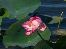 Roze bloem van Indische of heilige lotusbloem, Nelumbo-nucifera, close-up in wilde, selectieve nadruk, ondiepe DOF Royalty-vrije Stock Foto's