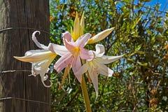 Roze bloem van Namaqua-Rivierlelie royalty-vrije stock afbeeldingen