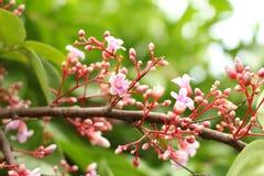 Roze bloem van sterappel Royalty-vrije Stock Afbeeldingen