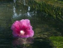 Roze Bloem in Water Stock Foto