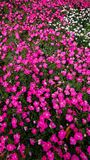 Roze bloembed royalty-vrije stock foto