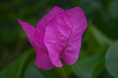 Roze bloemblaadje in een bloem in Griekenland Royalty-vrije Stock Afbeelding