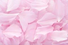 Roze bloemblaadjes Stock Afbeelding