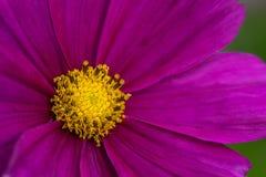 Roze Bloemblaadjes Gele Bloemen Stock Fotografie