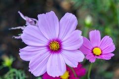 roze bloembloei Royalty-vrije Stock Foto's