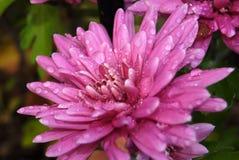 Roze bloemchrysant met waterdalingen, macrofotografie stock afbeelding