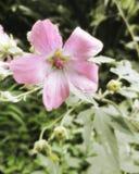 Roze bloemclose-up Royalty-vrije Stock Afbeeldingen