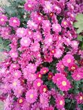 Roze bloemen Royalty-vrije Stock Fotografie