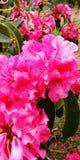 Roze Bloemen! royalty-vrije stock foto