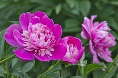Roze bloemen. Stock Foto's