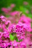 Roze bloemen. Royalty-vrije Stock Afbeelding