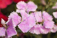 Roze bloemen Stock Foto