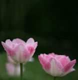 2 roze bloemen Royalty-vrije Stock Afbeelding