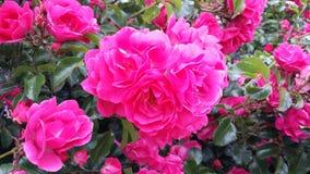 Roze bloemen 1 Royalty-vrije Stock Foto