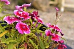 Roze bloemen Stock Afbeelding