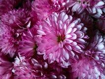 Roze bloemen Stock Fotografie