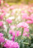 Roze bloemen als achtergrond Stock Afbeeldingen