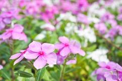 Roze bloemen als achtergrond Stock Afbeelding
