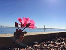 Roze bloemen bij de baai met een zeilboot Royalty-vrije Stock Afbeelding