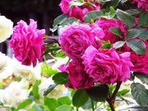Roze bloemen in bloei Stock Afbeeldingen