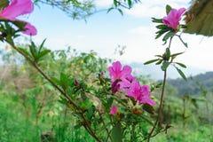 Roze bloemen bueatiful in MonJam, ChiangMai Thailand stock afbeeldingen