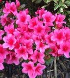 Roze bloemen buiten mijn voordeur Stock Foto's