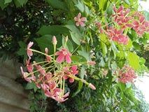 Roze bloemen in clusters met bladeren en knoppen stock afbeelding
