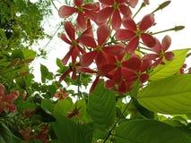 Roze bloemen in clusters met bladeren en knoppen royalty-vrije stock afbeelding