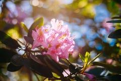 Roze Bloemen in de Boom van de de Lentetuin Stock Afbeelding