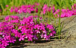 Roze bloemen - de Lente in de botanische tuin Royalty-vrije Stock Afbeelding