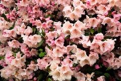 Roze bloemen in de lentetijd stock foto