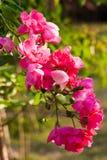 Roze bloemen in de ochtend Stock Foto's