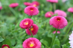Roze bloemen in de tuin Stock Fotografie