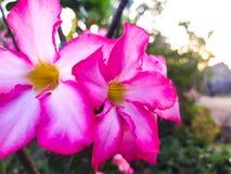 Roze bloemen die in de ochtend bloeien stock fotografie