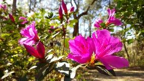 Roze bloemen die in de zon bloeien Stock Afbeeldingen