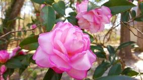 Roze bloemen die in de zon bloeien Royalty-vrije Stock Foto