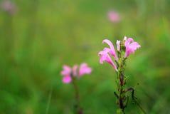 Roze bloemen die in het bos bloeien Royalty-vrije Stock Afbeelding