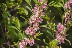 Roze bloemen die in te botanische tuin tot bloei komen Royalty-vrije Stock Foto's
