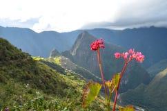 Roze bloemen door Machu Picchu Stock Foto