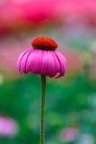 Roze bloemen, Echinacea, Echinacea in de tuin Stock Fotografie