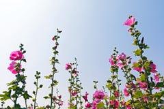 roze bloemen en Bluesky Royalty-vrije Stock Foto's