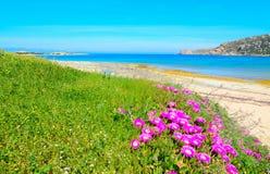 Roze bloemen en groen gras door het overzees in Capo Testa Royalty-vrije Stock Foto's