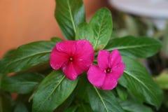 Roze bloemen en groene bladeren Stock Fotografie