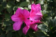 Roze bloemen en groene bladeren Royalty-vrije Stock Foto