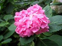 Roze bloemen en groene bladeren Royalty-vrije Stock Afbeeldingen