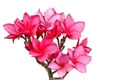 Roze bloemen Frangipani Stock Foto