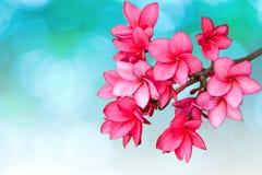 Roze bloemen Frangipani Royalty-vrije Stock Afbeeldingen