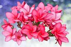 Roze bloemen Frangipani Royalty-vrije Stock Foto's
